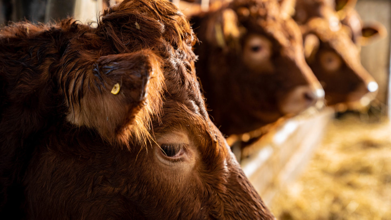 Number of older cattle in NI with no BVD status halves in a year