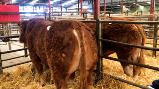 Highlights from the Irish Limousin Athenry bull sale 2021