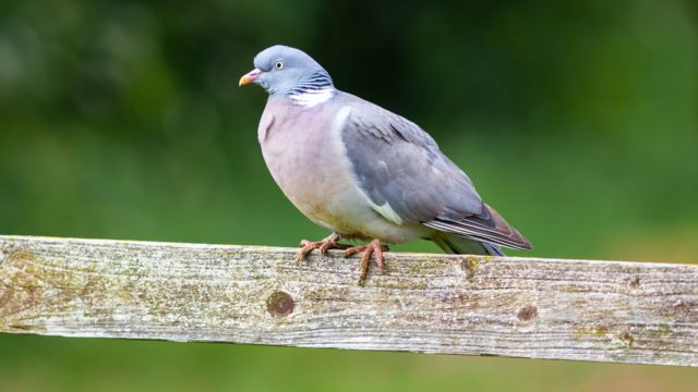 Letter to the editor: Wood pigeons deserve a break