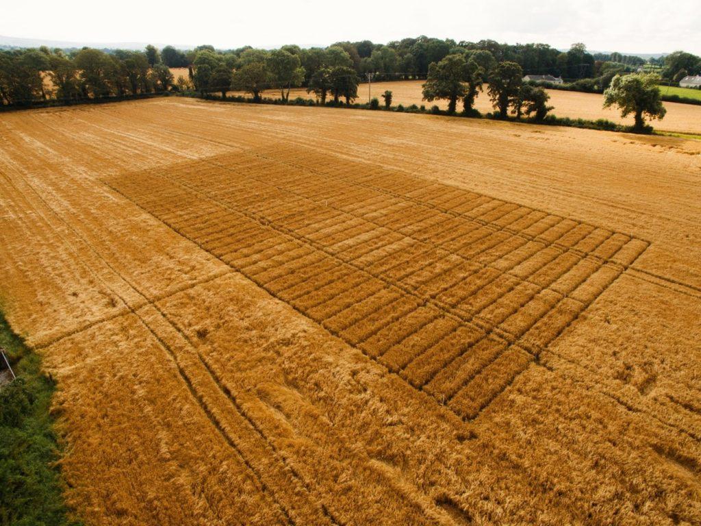 cereal disease: barley brackling trial in field