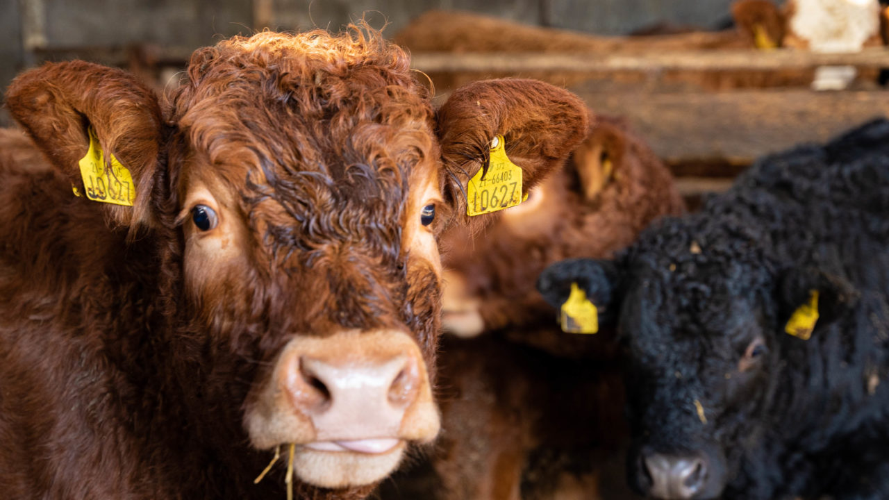 'Tighter cattle supplies projected' with demand strong