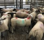 Sheep trade: Spring lamb prices topping €8.50/kg