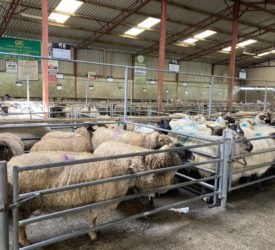Sheep prices march on as the mart trade continues to amaze