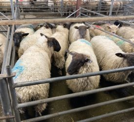 Sheep kill: Tight supplies continue to be reflected in throughput figures