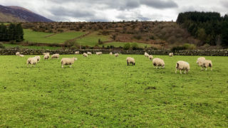 Lambing season on the farm of Padraig Joyce Co. Carlow