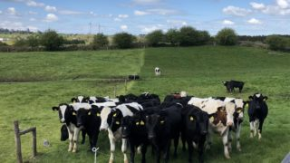 Virtual farm walk on calf-to-beef farm this week