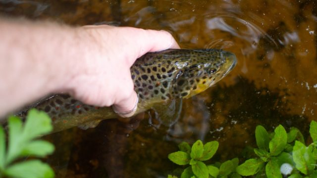 Brown trout were killed in the pollution incident. Image source Pixabay