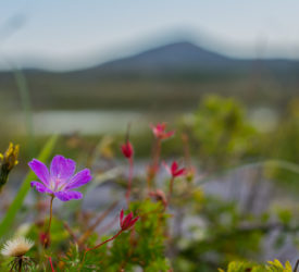 'Burren in Bloom' to take place online this May