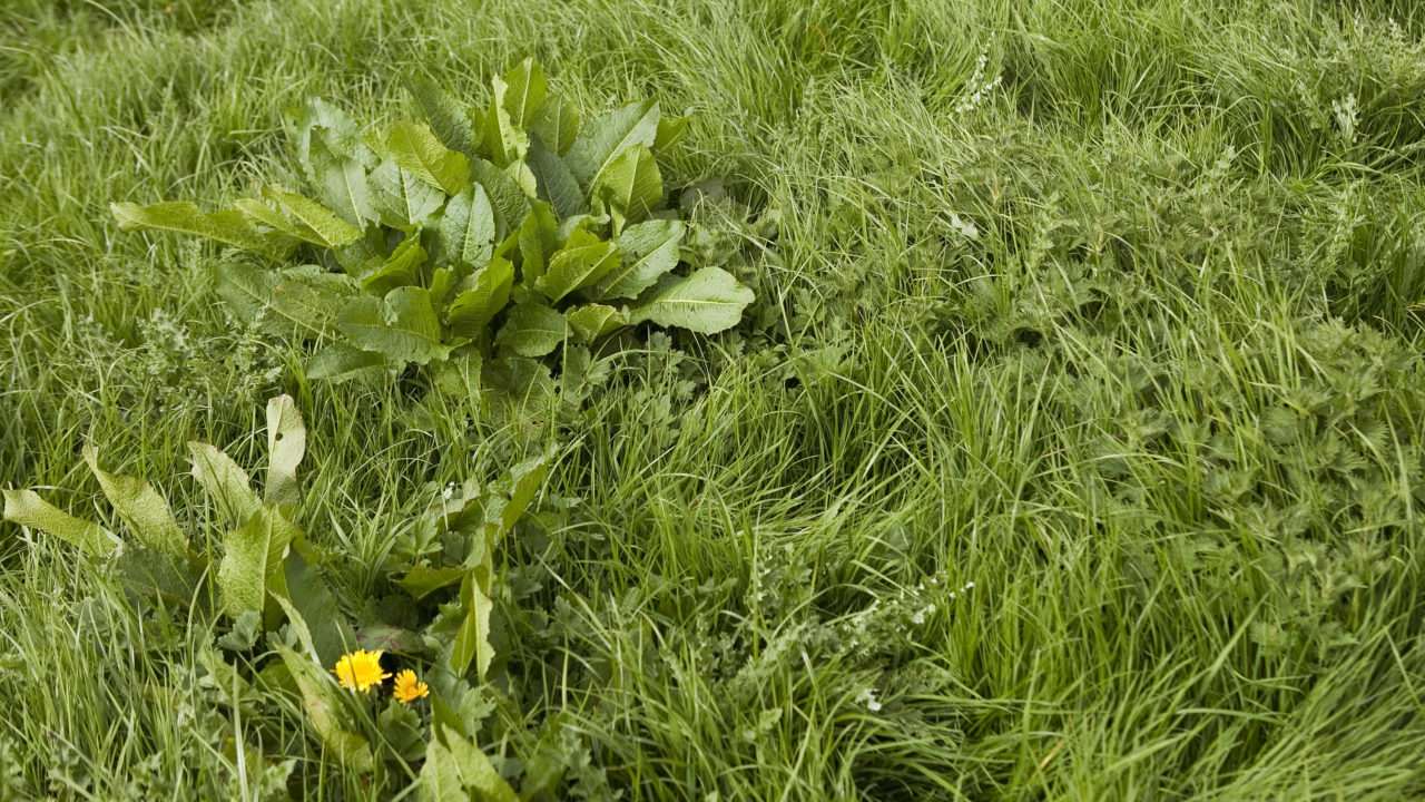 Now is the time to control weeds in grazing pastures
