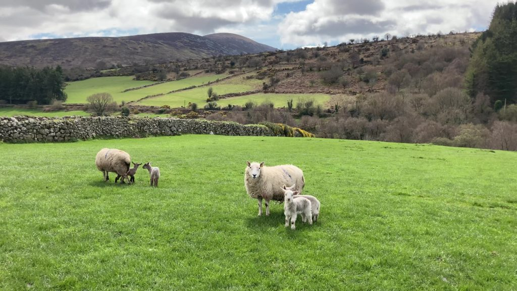 'High-index sheep produce less GHG emissions per kilo of carcass produced'