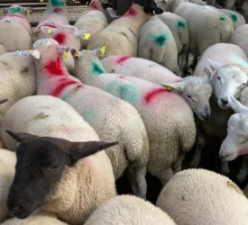 Sheep kill: Over 80,000 fewer hoggets processed compared to this time last year