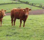 乳牛是泰龙农场的未来