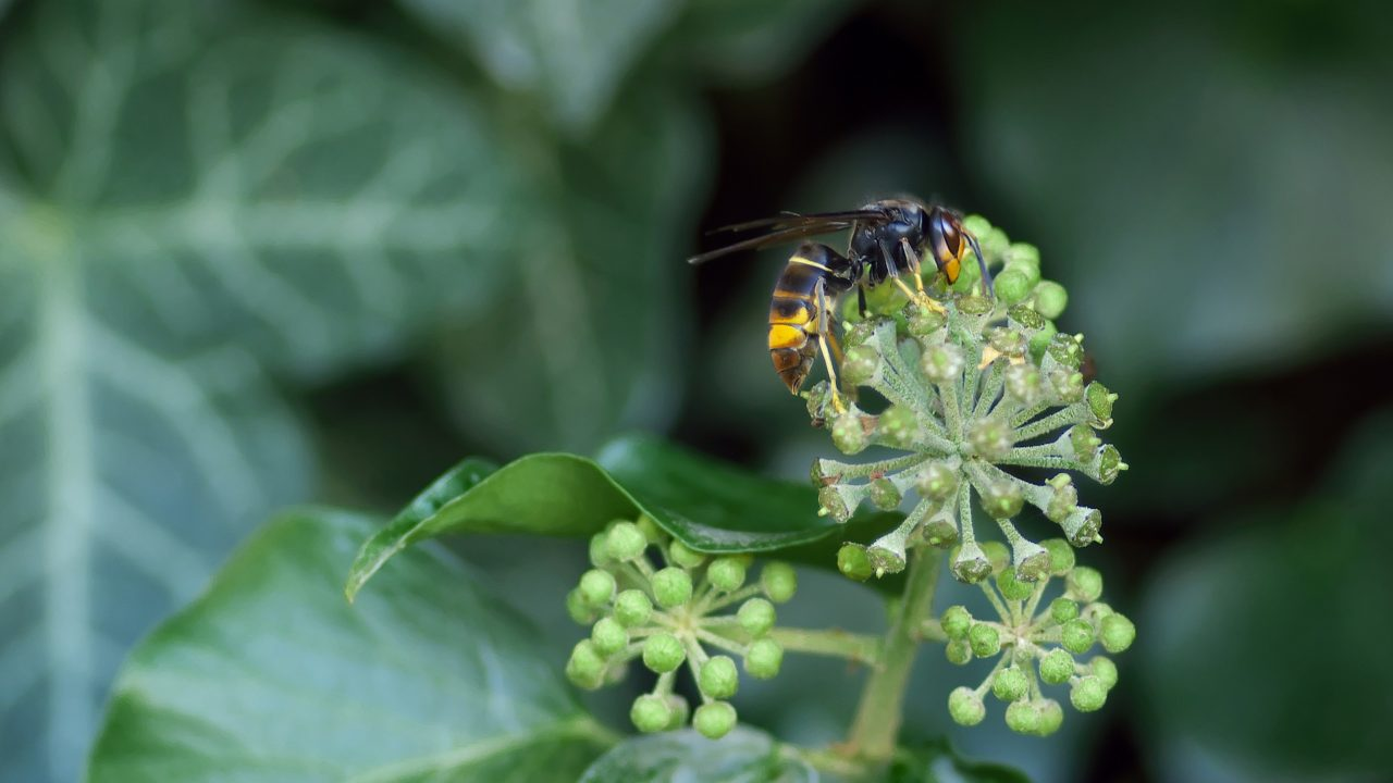 NPWS confirms first discovery of Asian hornet in Ireland