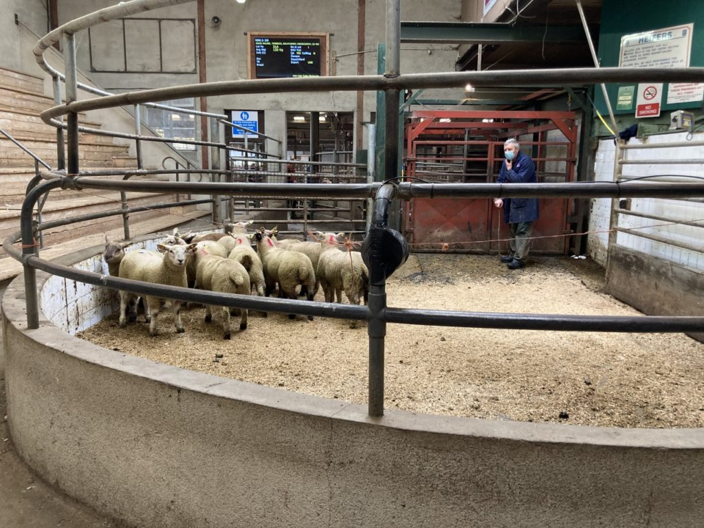 Sheep marts: Spring lamb prices suffer, cull ewes and hoggets hold firm