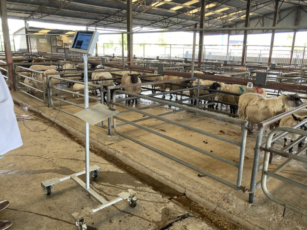 Pics from the mart: Spring lambs make up to €160/head at Roscommon Mart