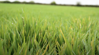 Crops Watch: Biostimulants and reducing ramularia in barley