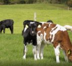 Virtual Farm Walk: Review of calf price this spring and calf rearing tips