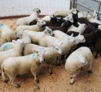 北羊交易:羔羊引号10c / kg
