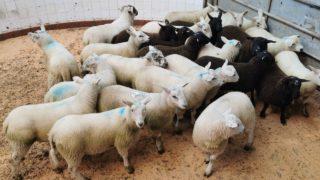 北方羊肉贸易:羊肉报价降低10美分/公斤