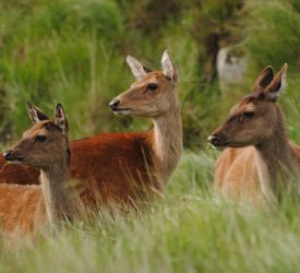 Farmers urged to take part in new national deer-monitoring programme