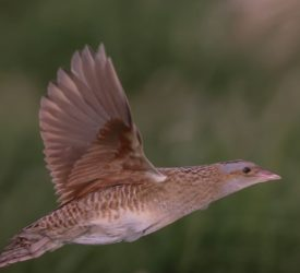 Four calling Corncrakes confirmed on Rathlin Island