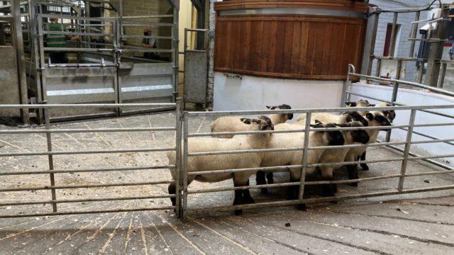 羊贸易:工厂在一周的空间中将羊羔拉出30℃/千克的引号