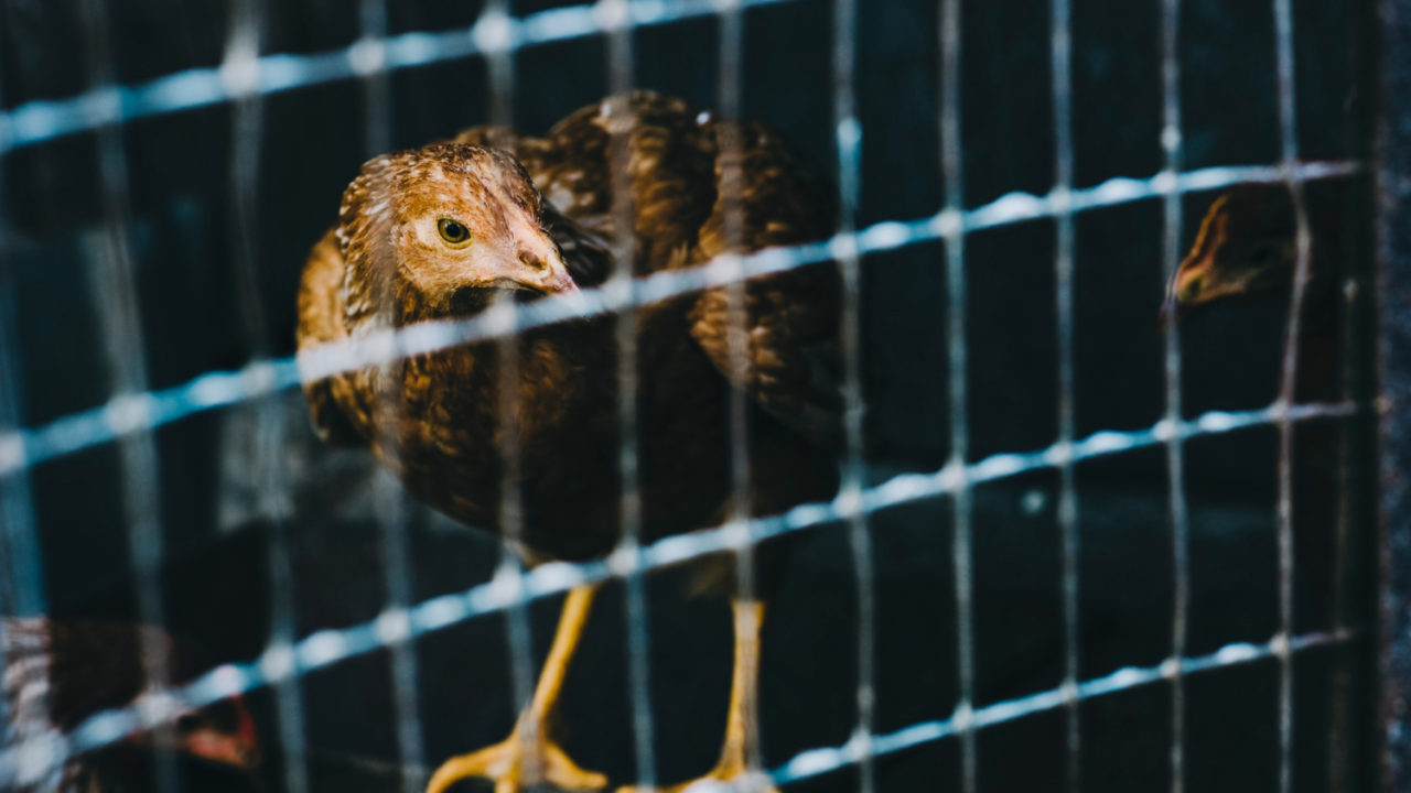 Caged farming in EU could be phased out by 2027