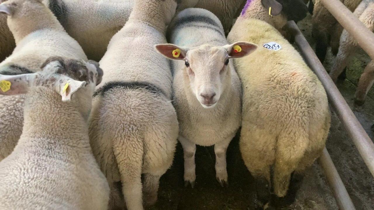 Big numbers see a strong trade for spring lambs at sales on Monday
