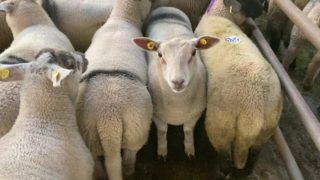 大数字见周一销售春天羊羔的强劲贸易