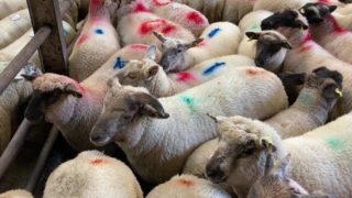绵羊贸易:春天羊羔的'of€8.00 / kg of€8.00 / kg'