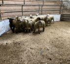 Sheep trade: Spring lamb prices topping €7.90-8.00/kg