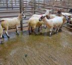 图片:早期迹象显示积极的母猪得到顶部€恩尼斯沃斯234号
