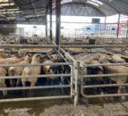 '对羊羔的正确贸易;剔除母羊是一个小小的安静的人'