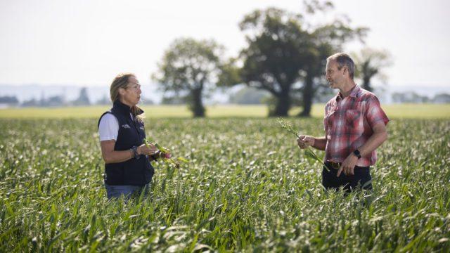 格兰比亚寻求额外的无麸质燕麦种植者