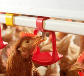 Poultry red mite product first in EU to include animal welfare improvement
