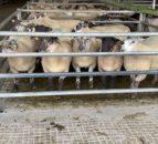 羊贸易:紧身用品使工厂难以拉价