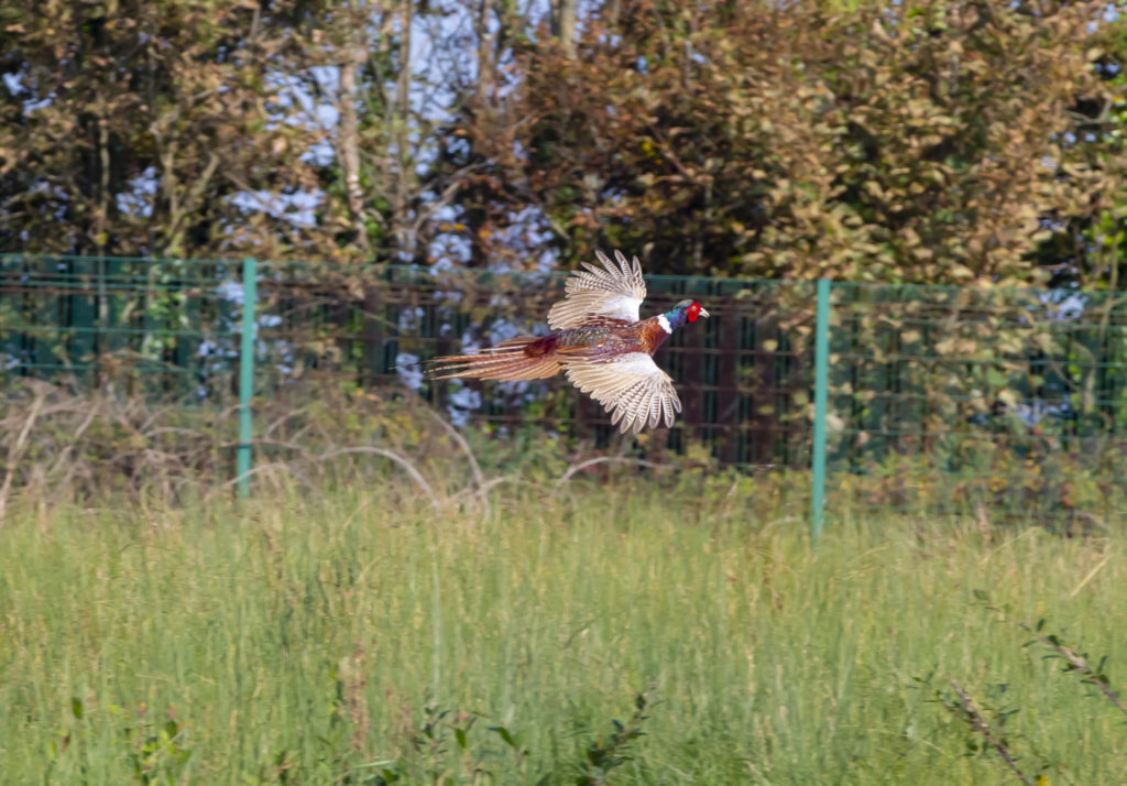 biodiversity pheasant