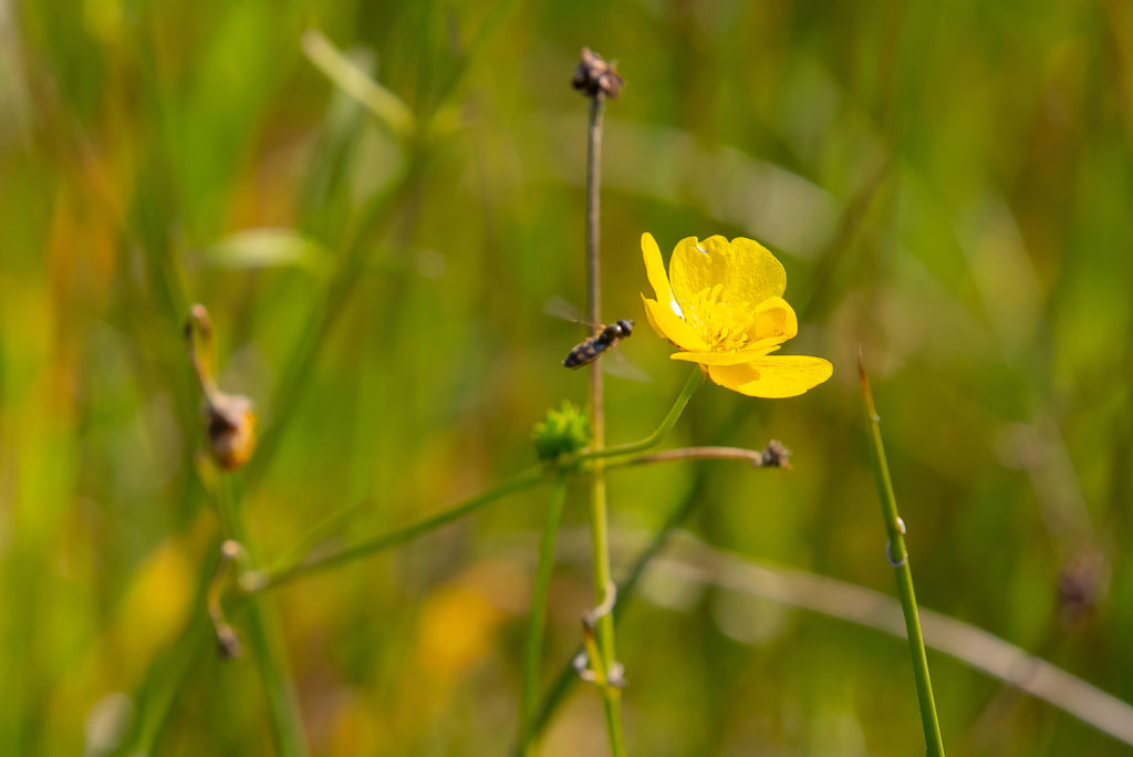 buttercup as an example of biodiversity