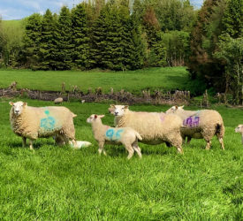 From zero to 300 purebred Lleyn ewes in the space of 7 years