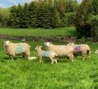 在羊羔前保持优质的草,拿出剩余的草