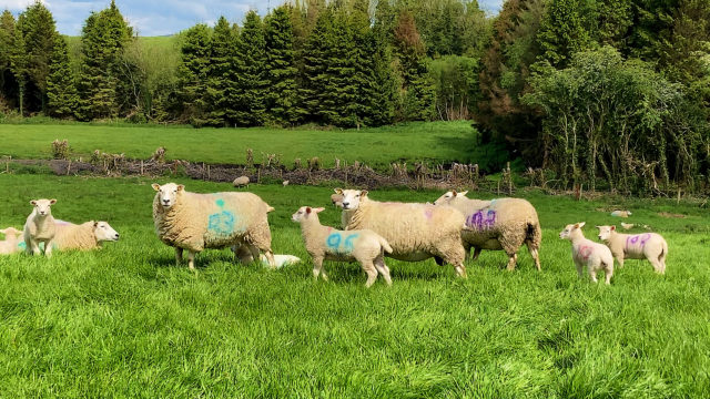 Keeping good quality grass in front of lambs and taking out surplus grass