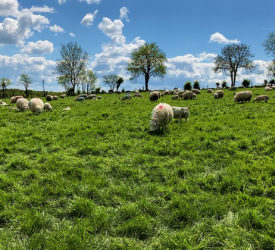 UK sheep production for May declines by 7%
