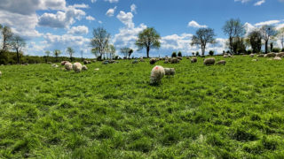 英国5月份绵羊产量下降7%