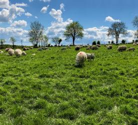 绵羊焦点:在7年的空间中建立一群300个纯种LELEN母羊