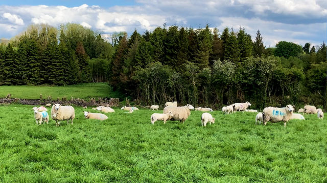 Treating sheep for worms? Here are some actions that you should take