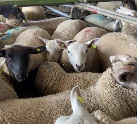 Pics from the mart: Lambs top €170/head at Athenry on Monday