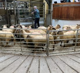 Sheep trade: Lamb prices topping €7.50/kg, as factories pull quotes once again