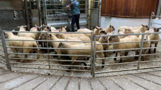 羊贸易:羊羔价格上涨7.50欧元/千克,因为工厂再次拉引名