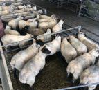 工厂羊羔贸易看到Loughrea Mart的最大袭击