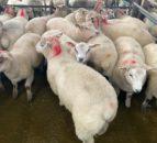 羊杀死:春天的羊羔吞吐量上周击中了43,500头